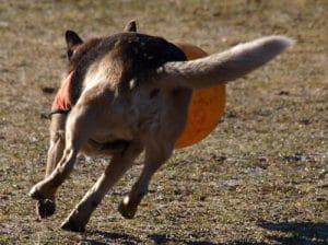 Dingo spielt ausgelassen mit Ball