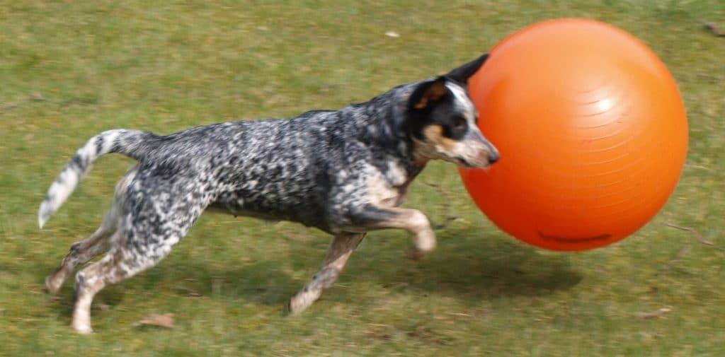 Treibball Australian Cattle Dog