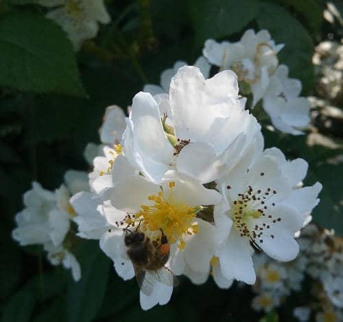 Bienen auf Wildrosen