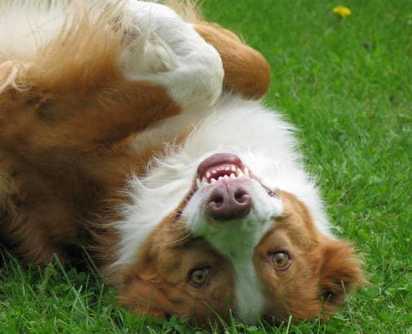 Hund Boromir