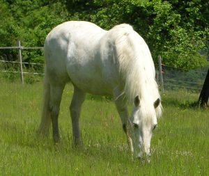 Pferd Houblon