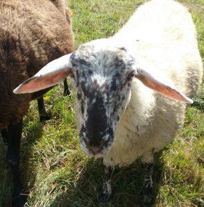 Schafe mit traurigen Augen