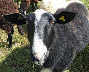 Schafs-Blicke