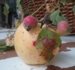 Apfel mit Zwillingen
