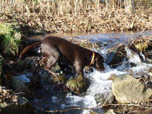 Naturbursche Labrador
