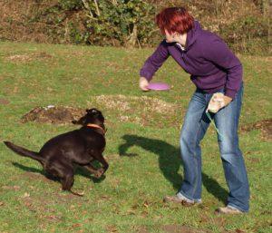 Labrador apportiert