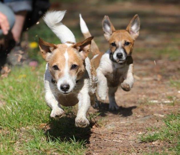 Rattenscharf! Der Jack-Russell-Terrier