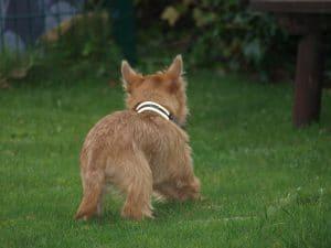 Caern Terrier