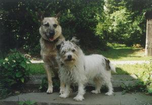 Australian Cattle Dog und Jack Russell Terrier