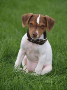 Jack-Russell-Terrier-Welpe